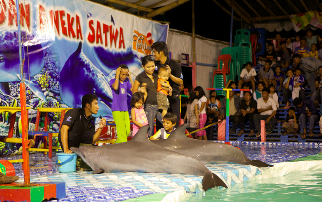 Indonesian dolphin traveling circus