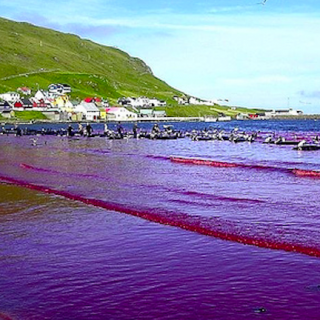 Heart of Darkness Faroese Dolphin Slaughter
