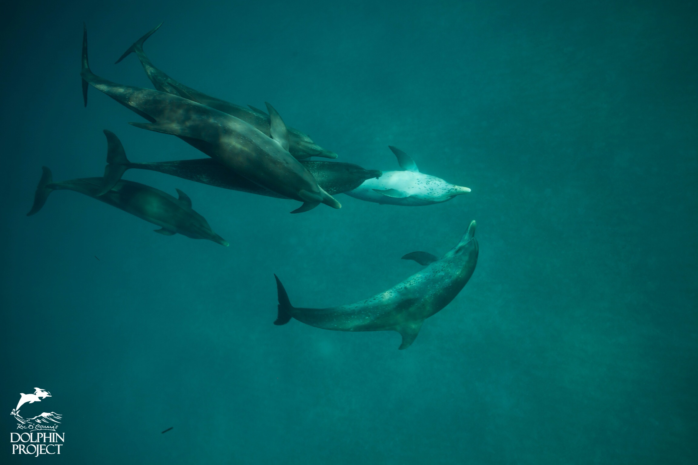 Wild spotted and bottlenose dolphins swim together in the Bahamas.
