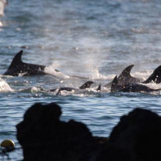 Captured Bottlenose Dolphin, Taiji, Japan
