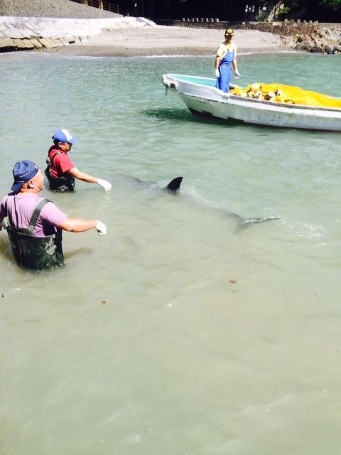 Fishermen attempt to push a female Risso's dolphin back into deeper water after she stranded herself when trying to escape. Photo: DolphinProject.com