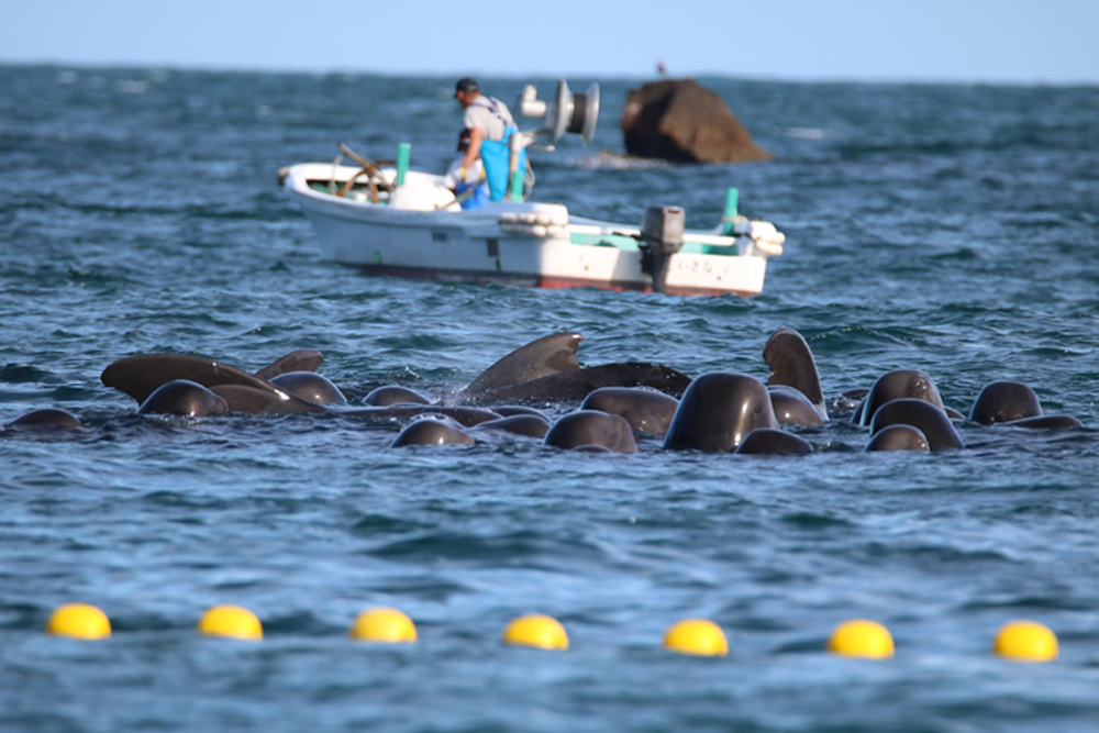 Pilot whales held in the cove, 11-19-15