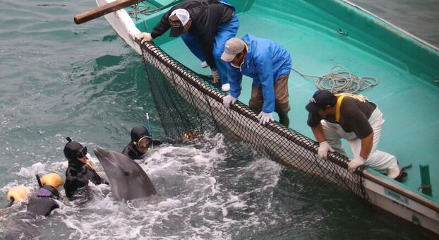 Dolphins wrangled during captive selection, Taiji, Japan, Dec 21 2015