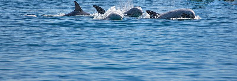 Risso's dolphins, Taiji Japan