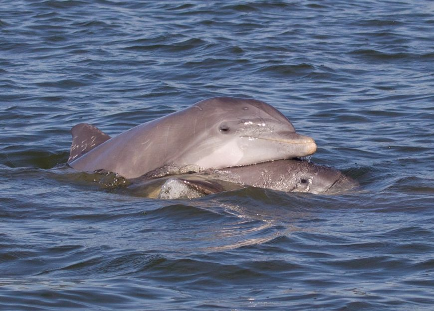 Bottlenose dolphins in the wild, Florida