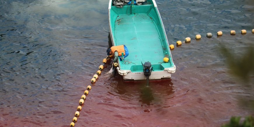 Striped dolphin slaughter, Taiji, Japan, 1-26-16