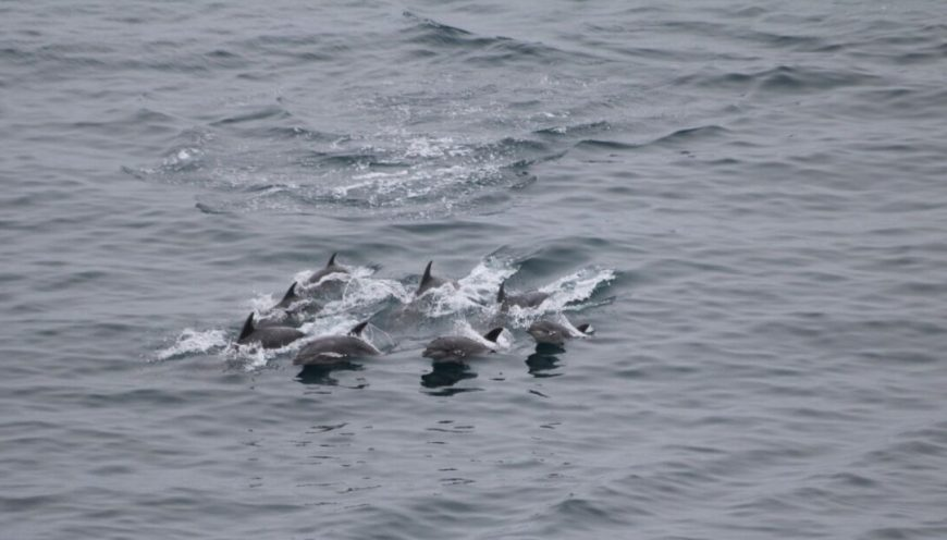 Pod of bottlenose dolphins trapped in The Cove, Taiji, Japan, 2-6-16