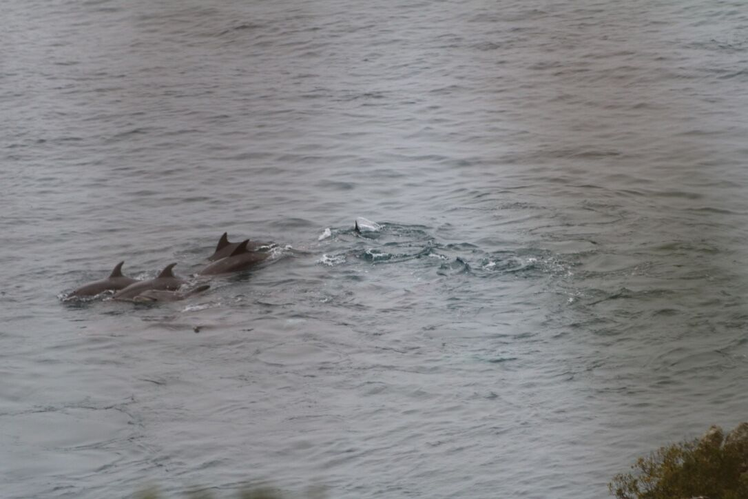 Swimming tightly together, a pod of bottlenose dolphins is driven into the cove
