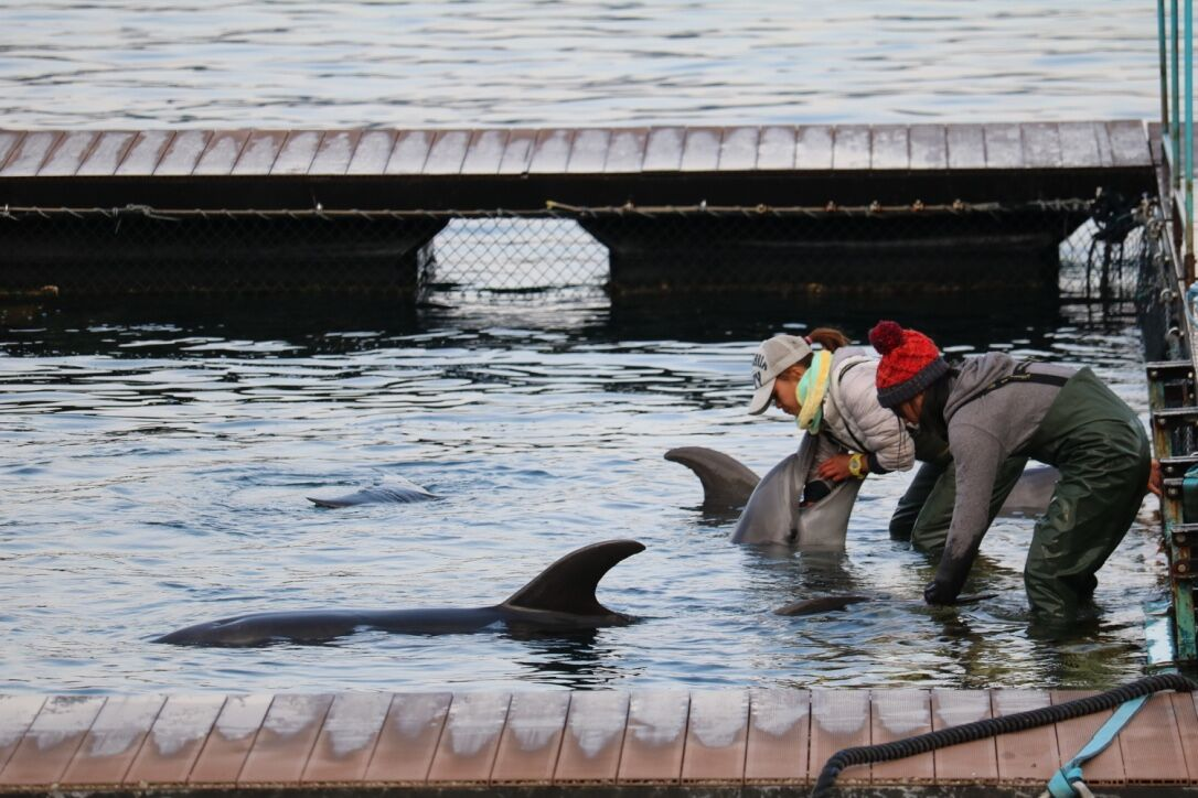 Manhandled by trainers, bottlenose dolphin being prepped for life in captivity