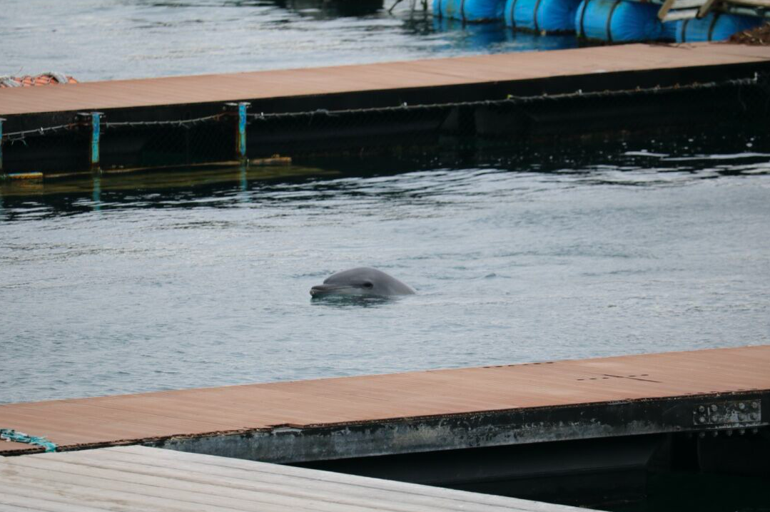 Captive bottlenose dolphin floats listlessly in sea pen, Taiji, Japan