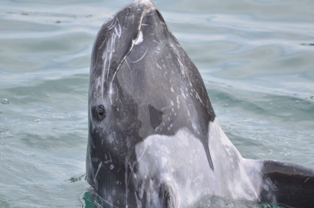 Captive Risso's dolphin begging for a dead fish meal.