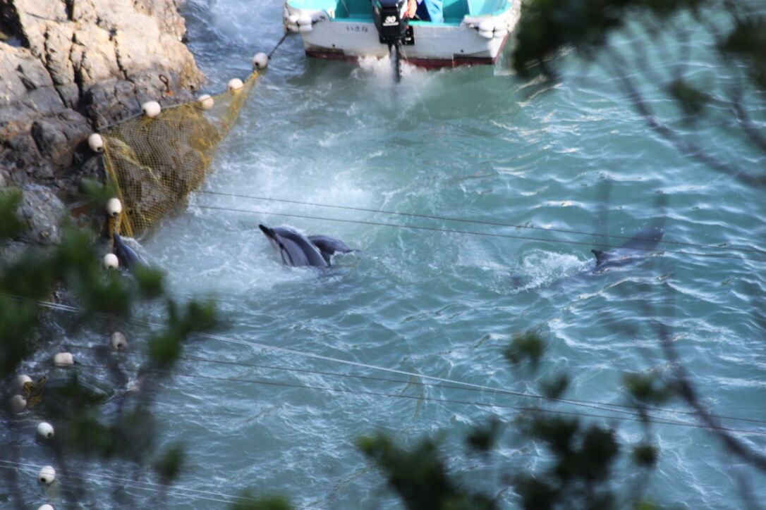 Panicked striped dolphins throw themselves against nets in attempt to escape hunters, Taiji, Japan