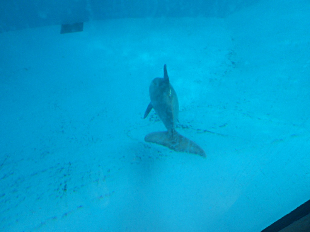 Beachie hovering near the bottom of his tank, Dolfinarium Harderwijk