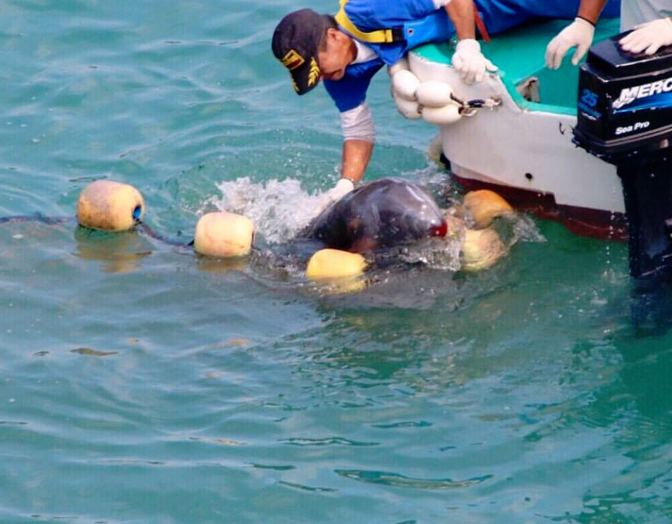 Bleeding Risso's dolphin guided away from nets and into the killing cove.