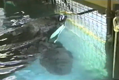 Tilikum isolated in tiny tank, Sealand of the Pacific