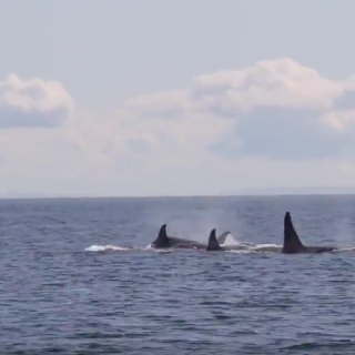 Wild orcas off British Columbia