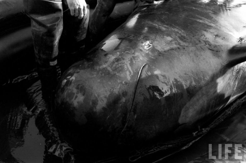 One Dolphin's Story: Bimbo | Dolphin Project