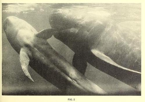 One Dolphin's Story: Bimbo   Dolphin Project