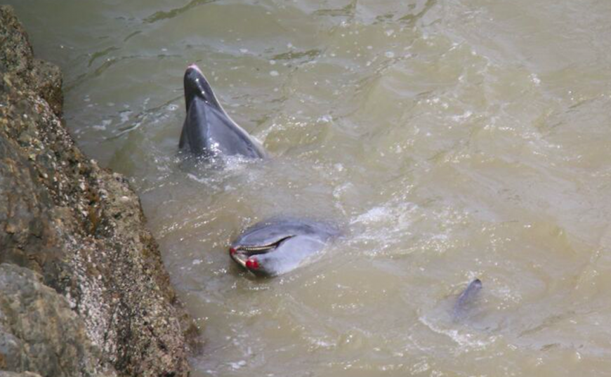 Bloodied bottlenose dolphins after throwing themselves up against rocks