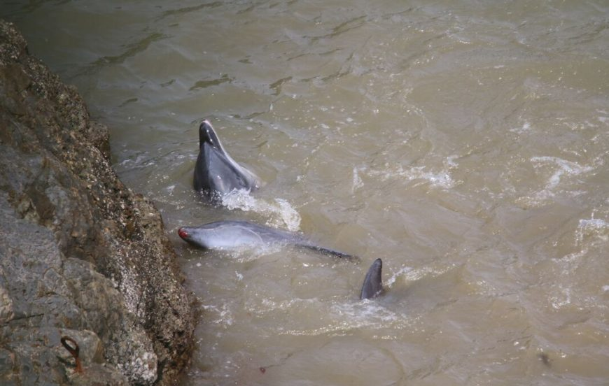 Bloodied dolphins after throwing themselves up against rocks.