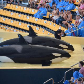 captive orcas at Loro Parque