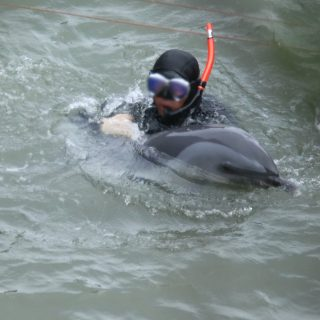 Diver guides pantropical spotted dolphin under tarps for capture