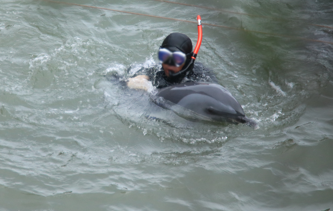 Diver forces pantropical spotted dolphin under tarps for captive selection, Taiji, Japan.