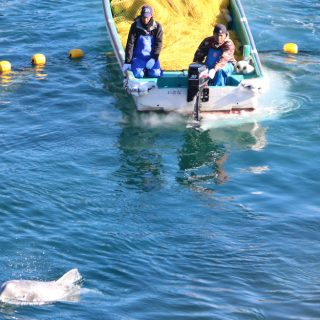 Taiji, Japan, The Cove, Dolphin Hunting, Dolphin Slaughter, Risso's Dolphins
