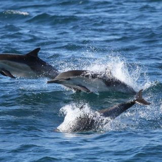 Wild common dolphins, California
