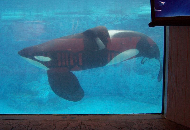 Tilikum orca swims in captivity, SeaWorld