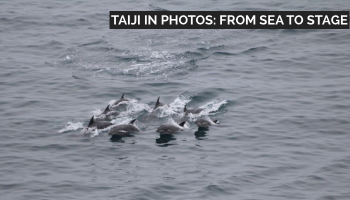 Bottlenose dolphins being hunted, Taiji, Japan