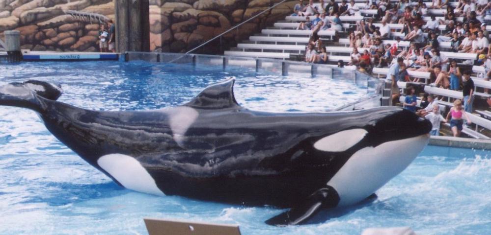 Orcas, Killer Whales, SeaWorld, Blackfish
