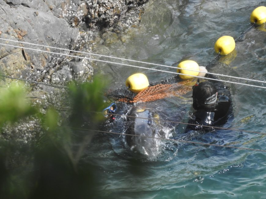 Terrified Risso's dolphin pulled off rocks, only to be slaughtered shortly after, Taiji, Japan