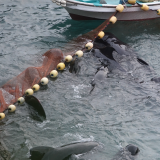 Pilot whales panic after being driven into the cove, Taiji, Japan.