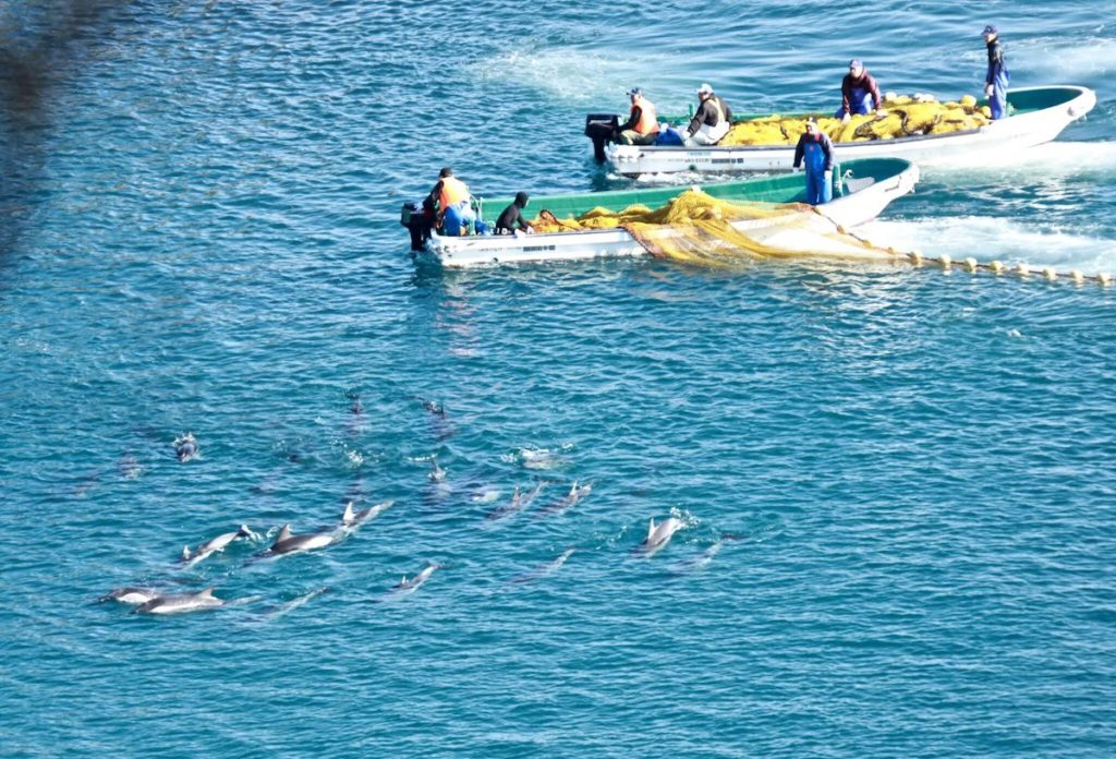 Fate is sealed for pod as they are netted (and trapped) in the cove.