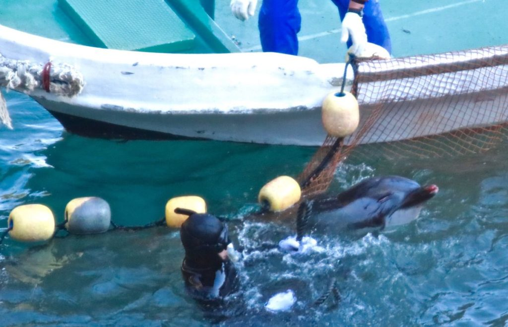 Dolphin is covered in numerous injuries prior to slaughter.