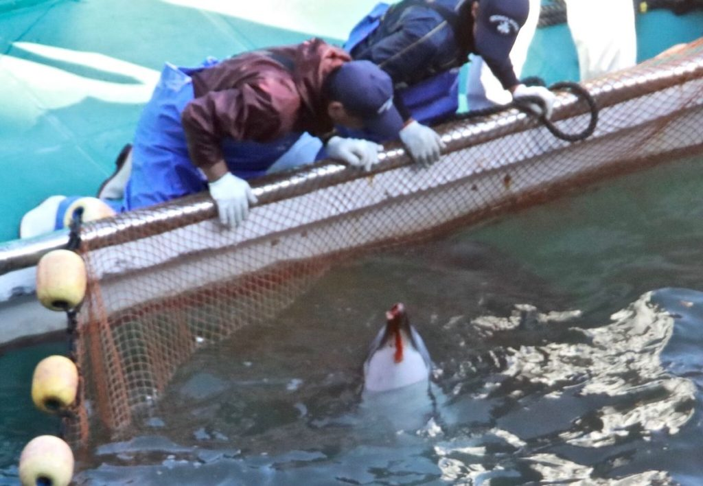 Blood pours from dolphin's rostrum prior as fishermen/hunters look on.