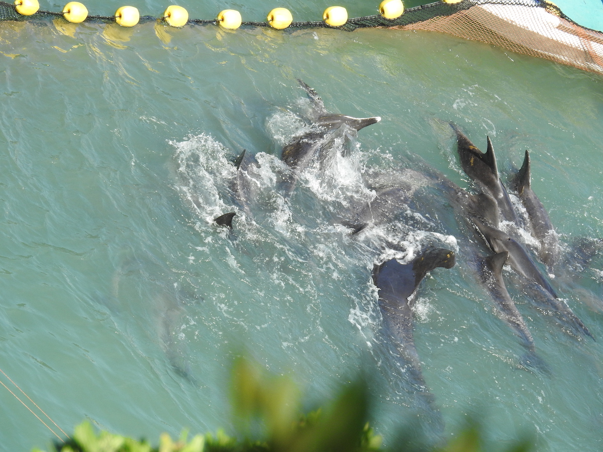 A lone pilot whale swims amongst rough-toothed dolphins, Taiji, Japan