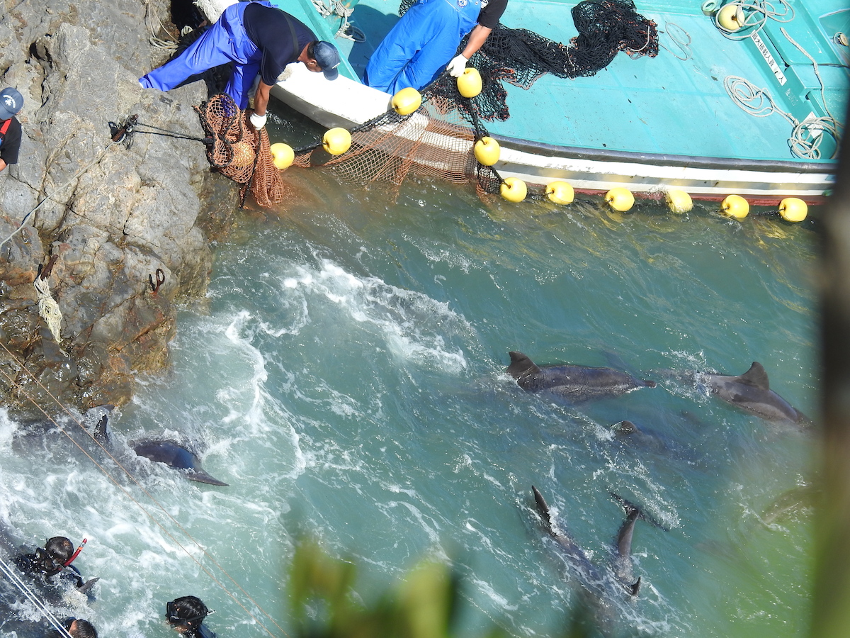 Rough-toothed dolphins panic after being driven into the cove, Taiji, Japan