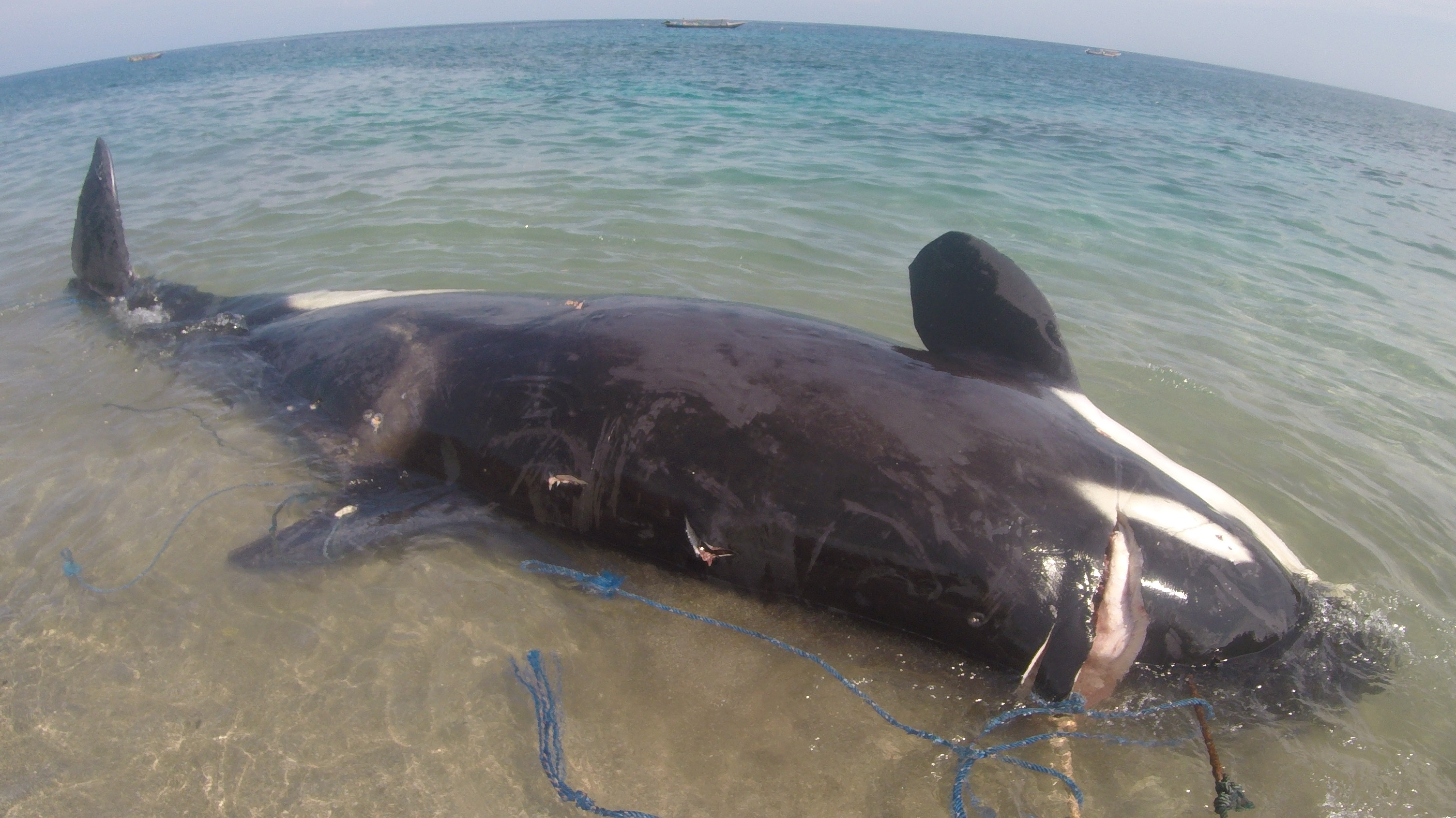 Family of orcas killed illegally in Lamalera, Indonesia.