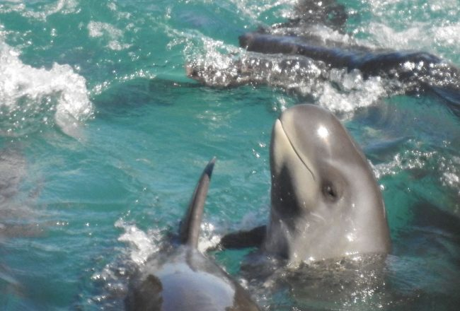 Pygmy killer whales driven into the cove, Taiji, Japan