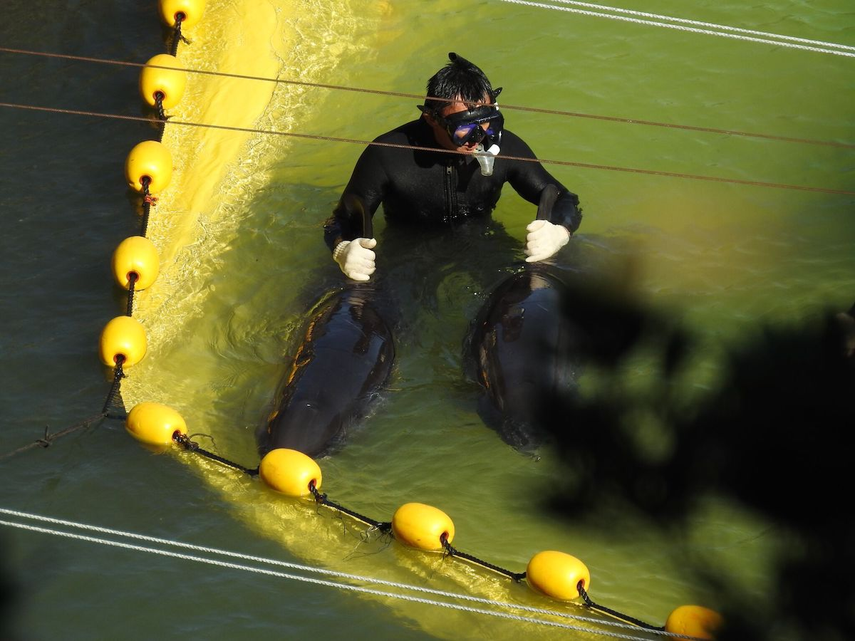 Diver holds the dorsals of pygmy killer whales before inspection, Taiji, Japan