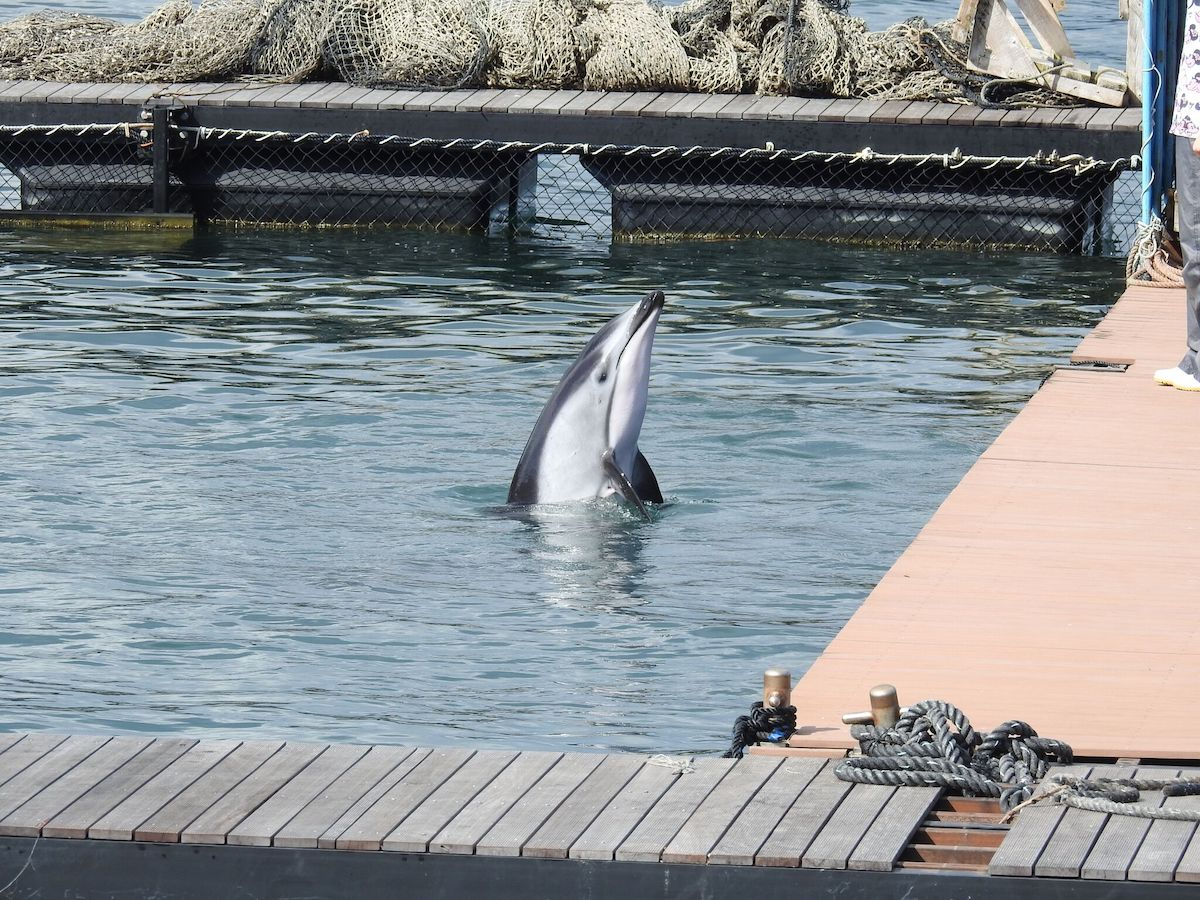 Pacific white-sided dolphin's life is forever changed in captivity. Taiji, Japan