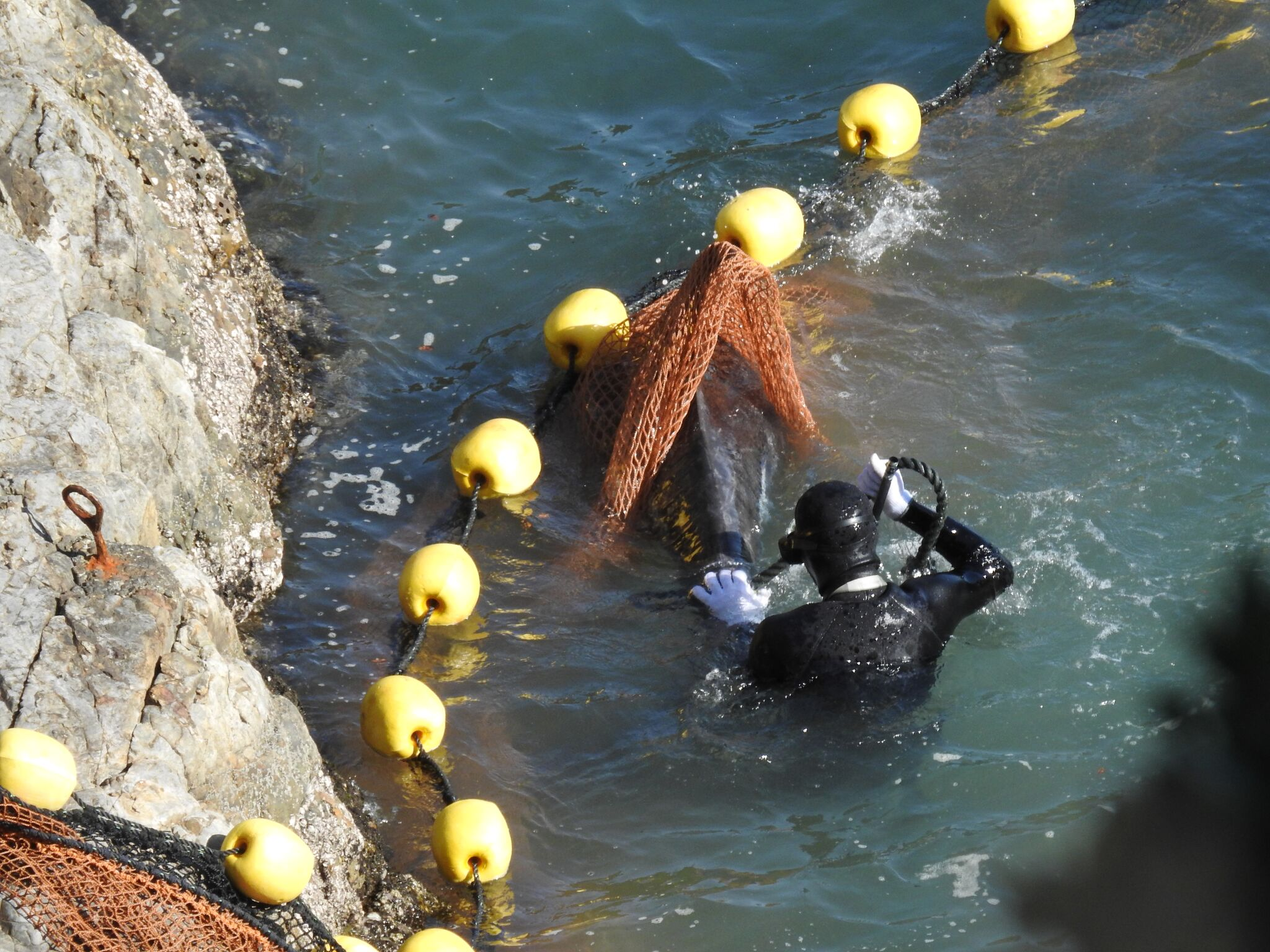 Risso's dolphins stuck in nets, Taiji, Japan