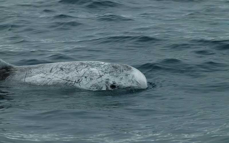 Wild Risso's dolphin
