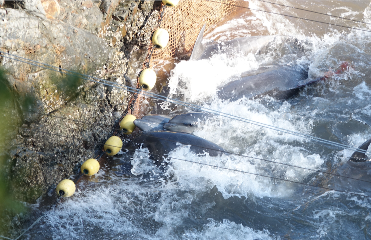 Dolphins struggle in the cove to evade divers, Taiji, Japan.
