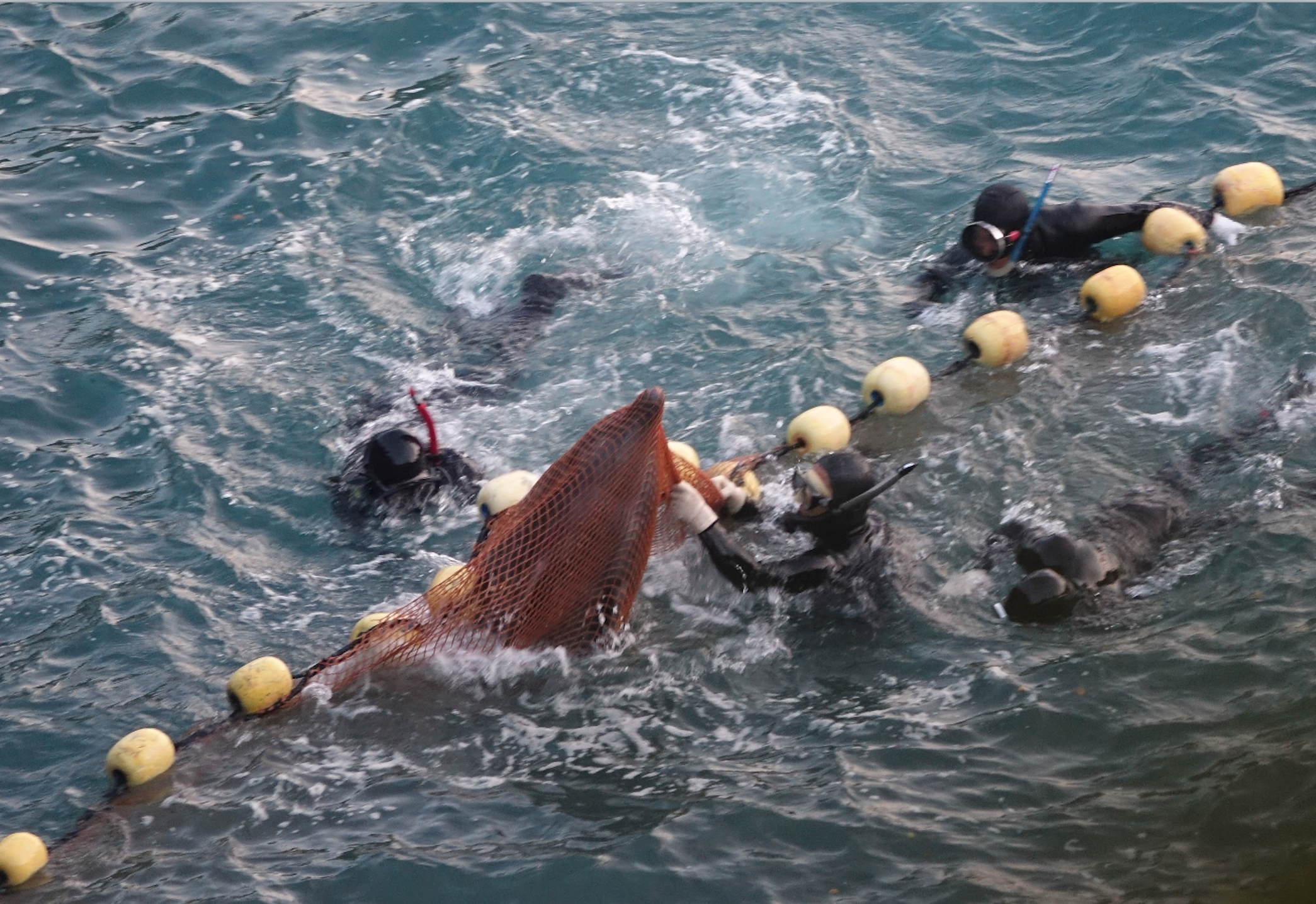 Brutality in the cove as captive selection of bottlenose dolphins takes place, Taiji, Japan.