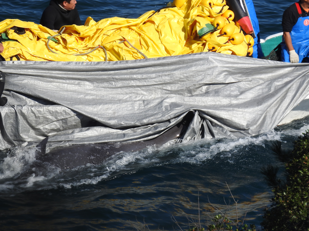 Bodies of slaughtered melon-headed whales hidden under tarps, Taiji, Japan