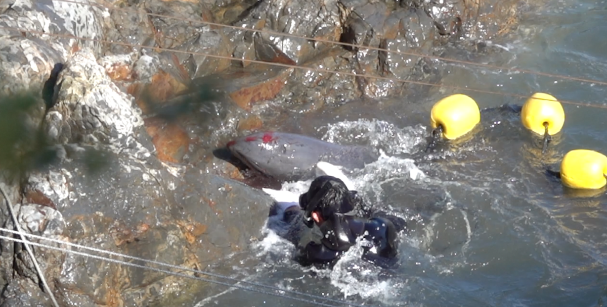 Bloodied dolphin after throwing itself on the rocks, Taiji, Japan