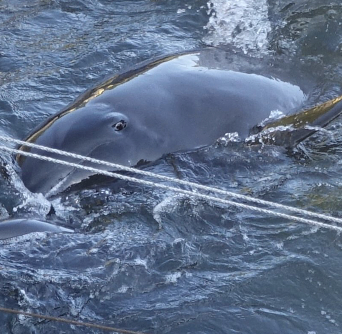 Melon-headed whale panics as pod members slaughtered, Taiji, Japan.